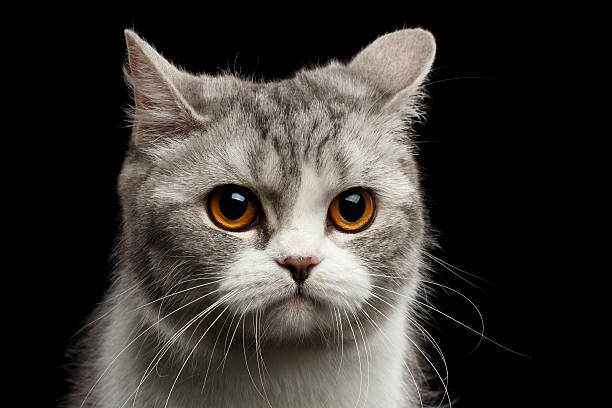 Closeup Gray Scottish Straight Cat Looks Pained Isolated on Black stock photo