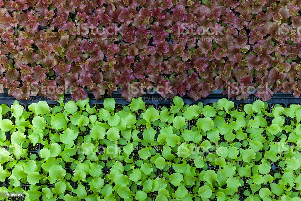 Closeup Green and Red oak leaf lettuce stock photo