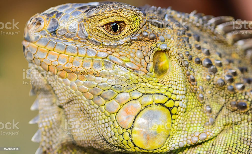 macro focused eye Iguana. Skin rough and black spotted
