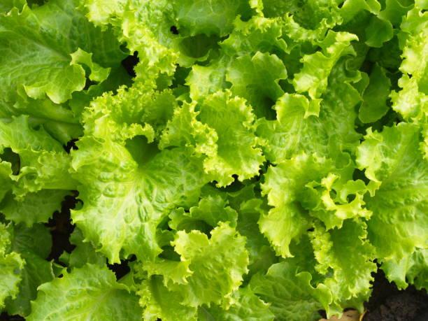 從鄉村農場與自然光在早晨特寫綠色葉生菜。2019年泰國 - 生菜 個照片及圖片檔