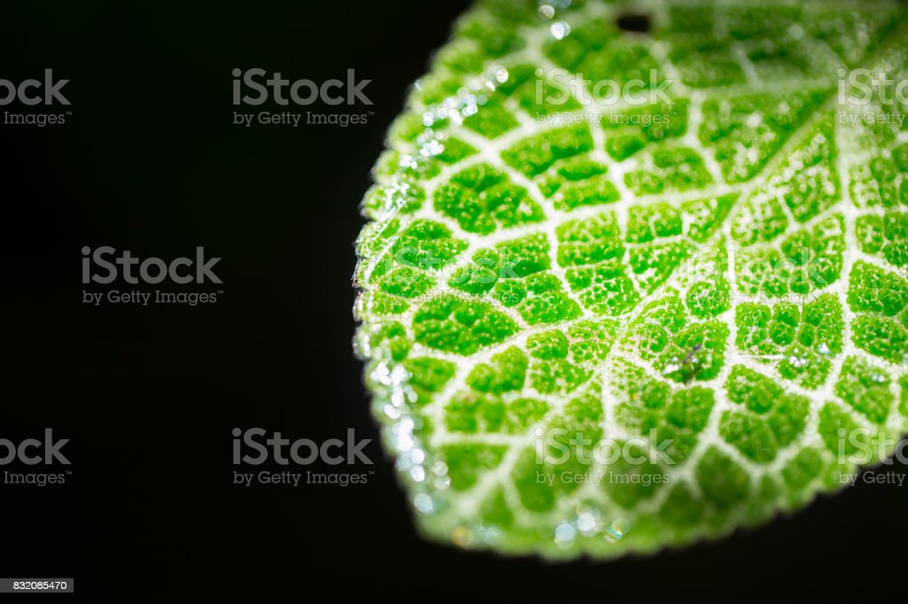 closeup green leaf micro texture isolated on black. science of nature plant life. stock photo