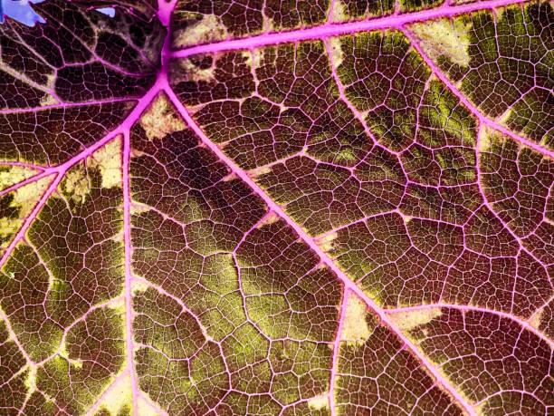 Nahaufnahme-grüne Blatttextur. Makrodetail des frischen Pflanzenblattes mit Verzweigung der Venen und Struktur. Hintergrundbeleuchtung. – Foto
