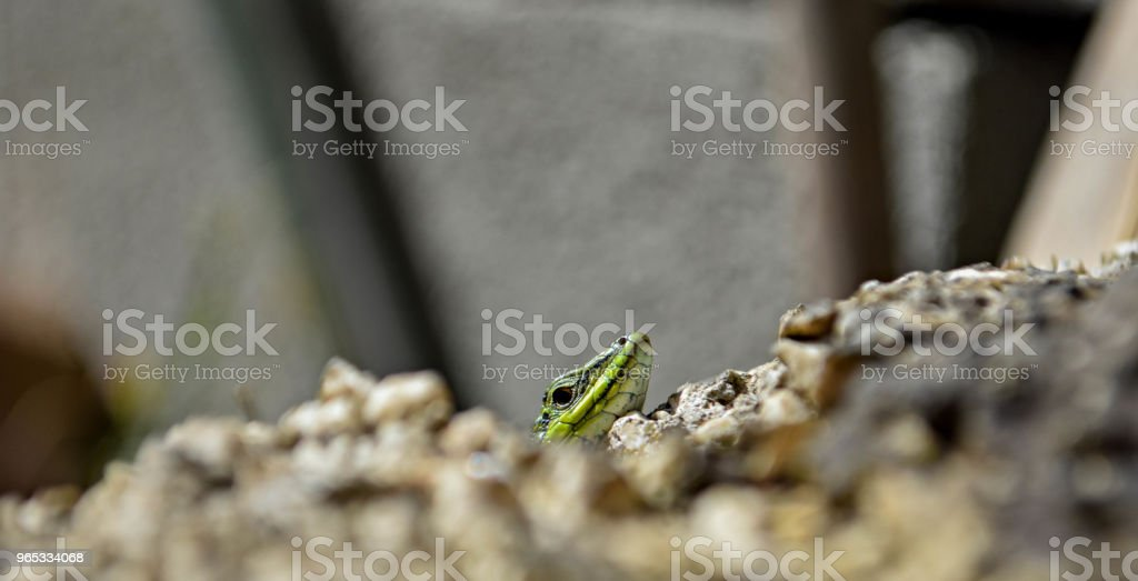 Closeup green lizard-gecko- hiding behind the wall/ Creepy in the wild nature. Wild life next to man royalty-free stock photo
