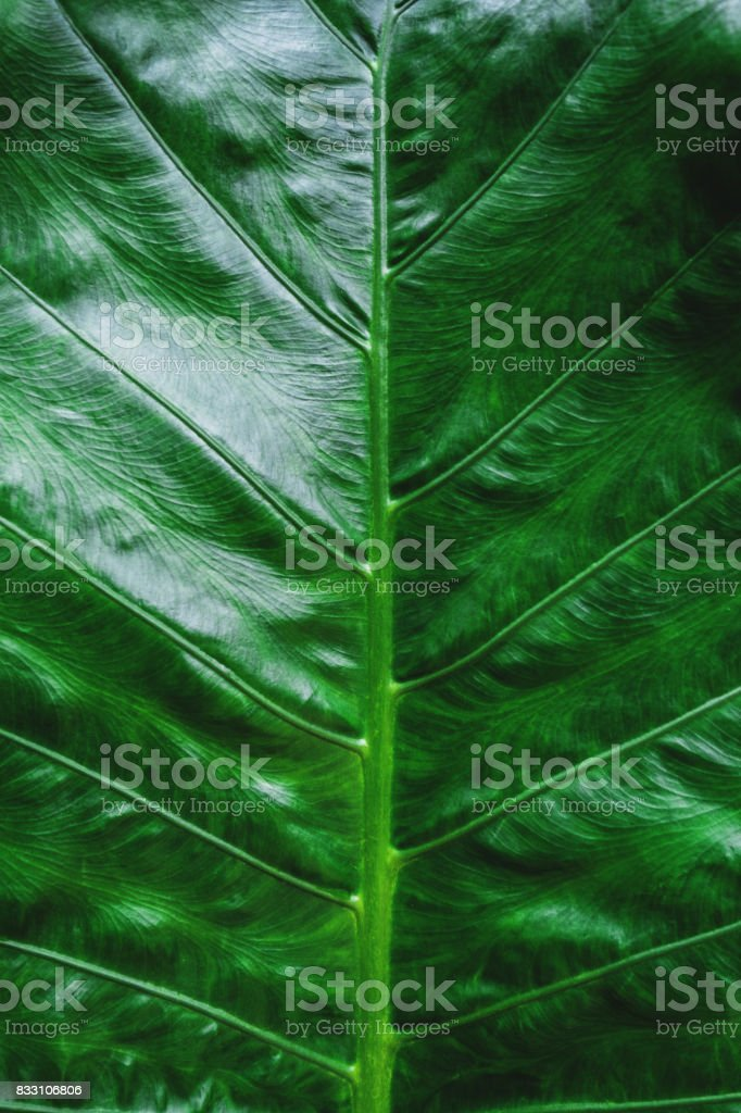 Close-up Green tropical leaf texture pattern background stock photo