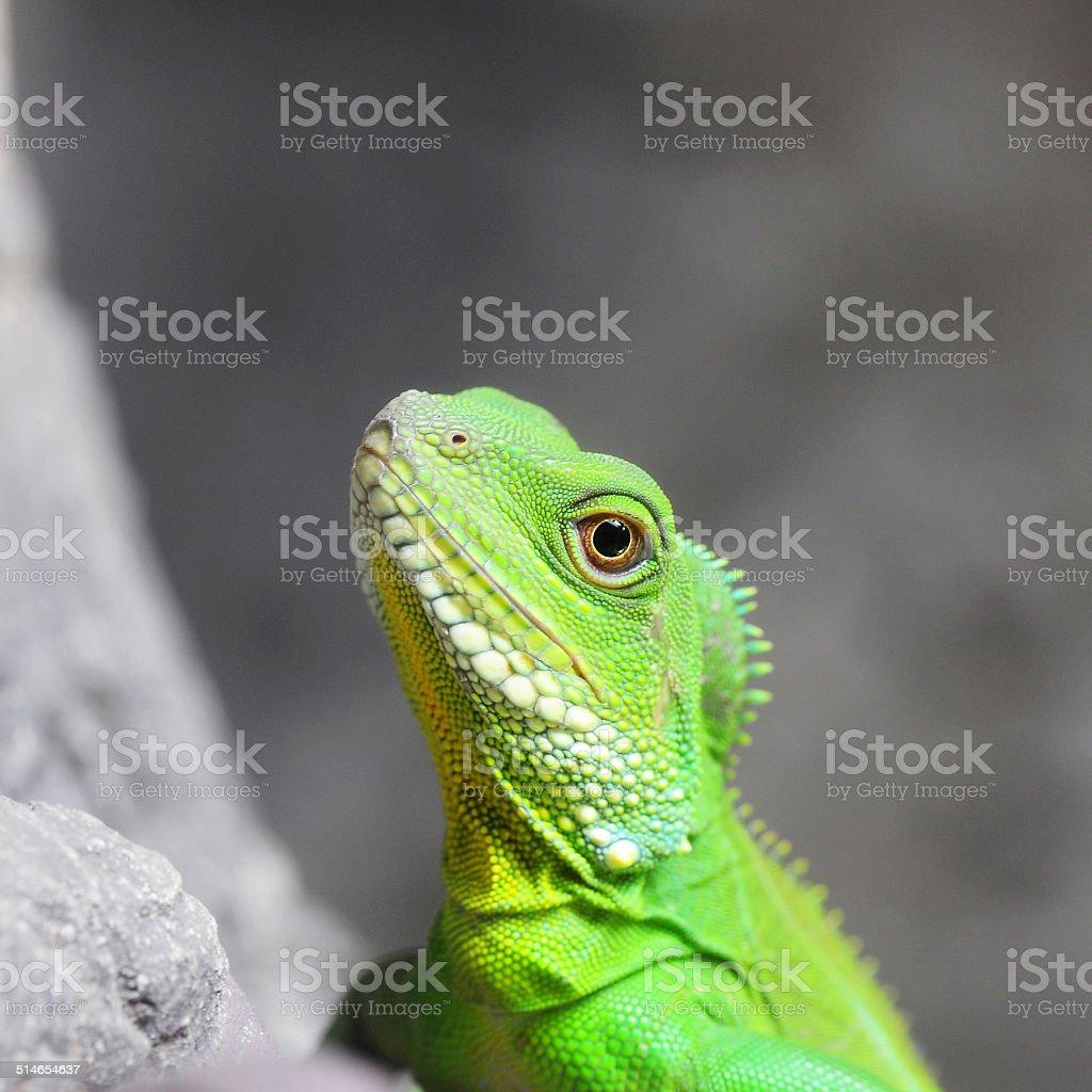 Closeup Green Water Dragon or Thai Water Dragon stock photo
