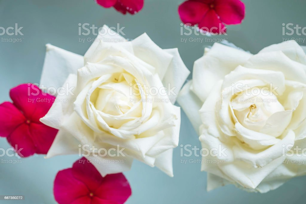 Closeup group of white rose flower float on water in basin for decoration in the garden textured background stock photo