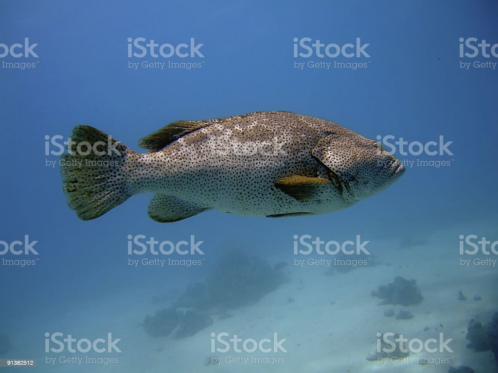 close-up grouper stock photo