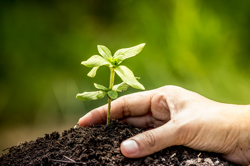 486530452 istock photo Closeup hand planting young tree in soil on green background 486527122