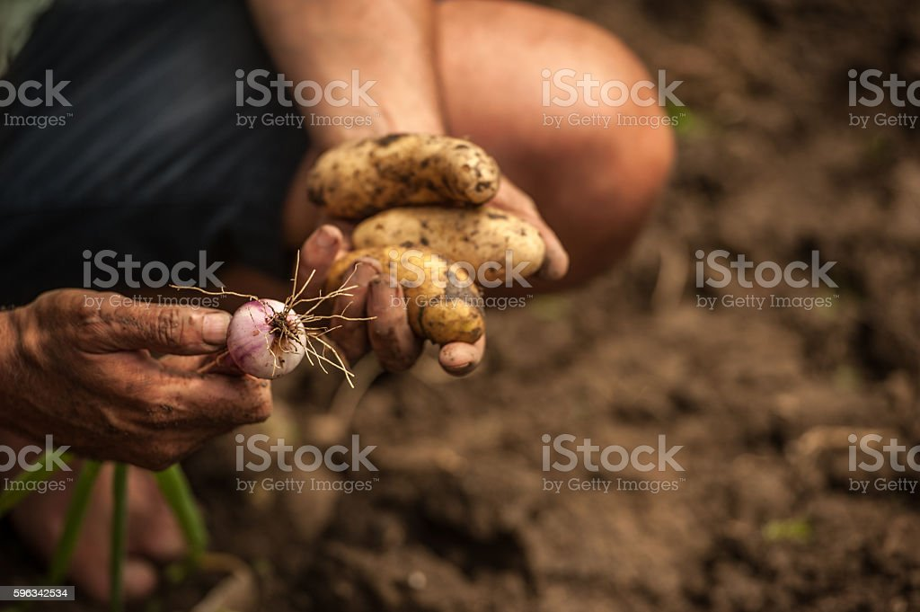 Close-Up Hands Full Of Home Grown Vegetables royalty-free stock photo