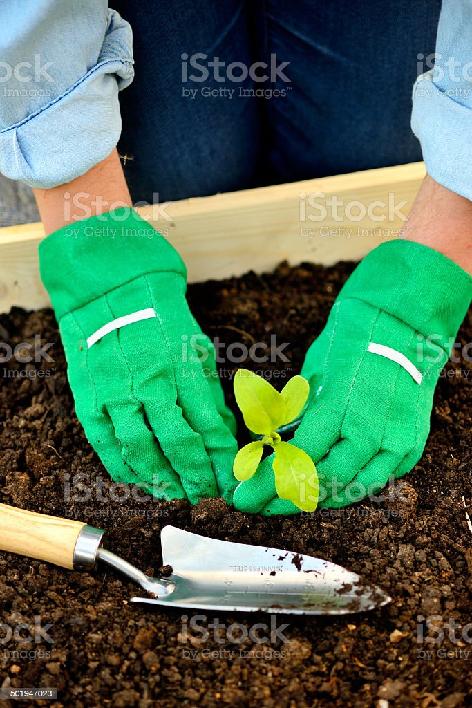 Close-up hands in gloves planting sprout royalty-free stock photo