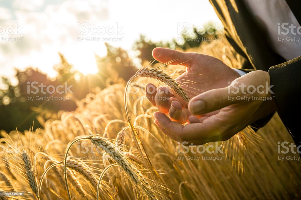 Closeup  hands of businessman cupping a ripe ear of wheat stock photo