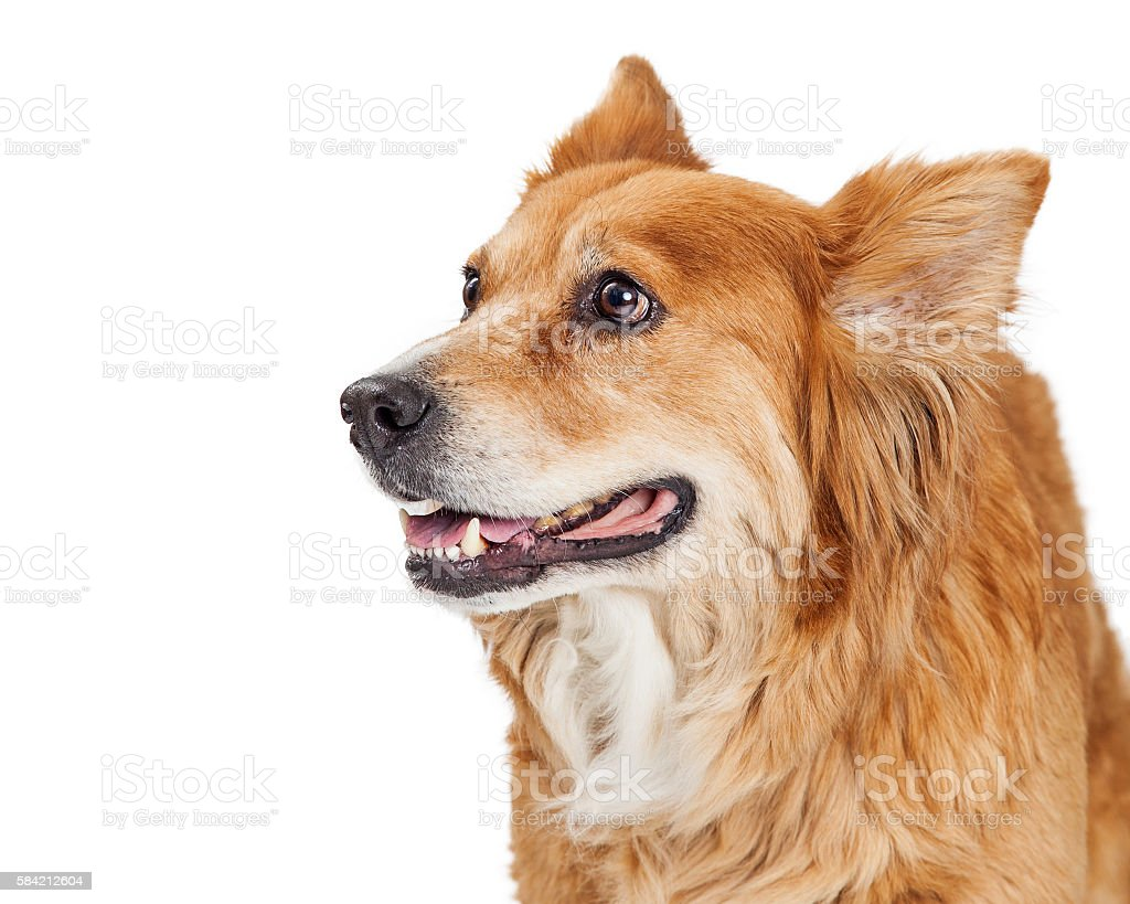 Closeup Happy Large Dog Looking to Side stock photo
