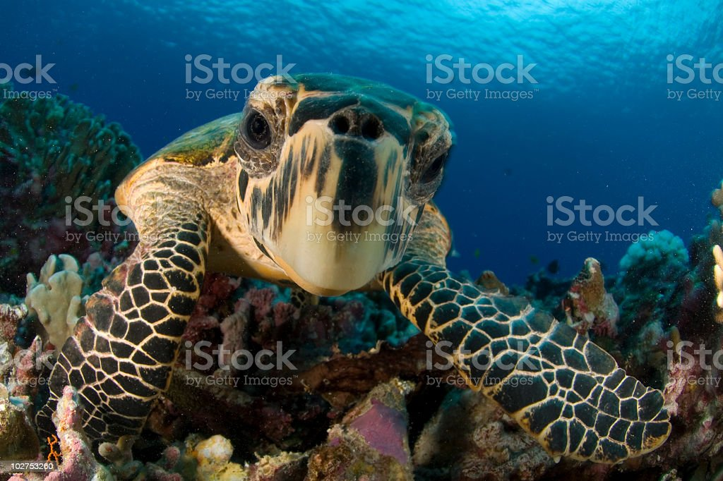 Close-up hawksbill sea turtle underwater by colorful coral stock photo