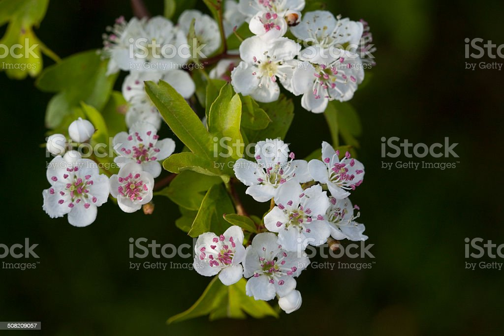 Close-up Hawthorn with Pink Stamen stock photo
