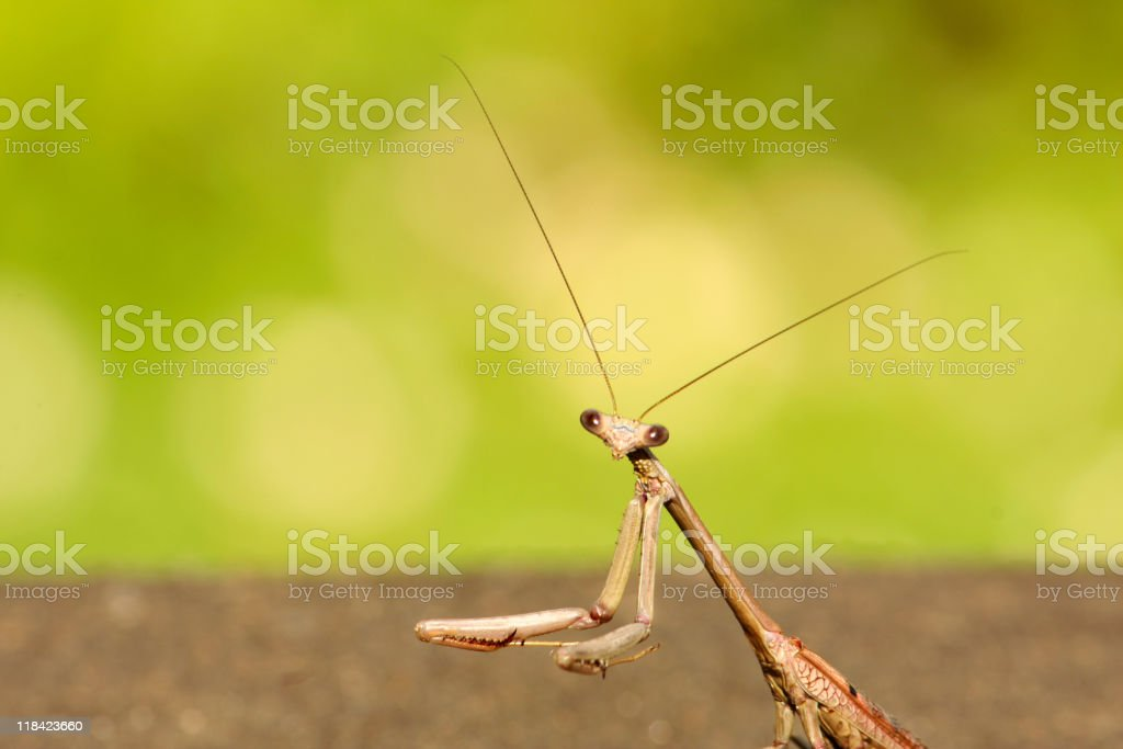 Close-up head and shoulders shot of a Praying Mantis royalty-free stock photo