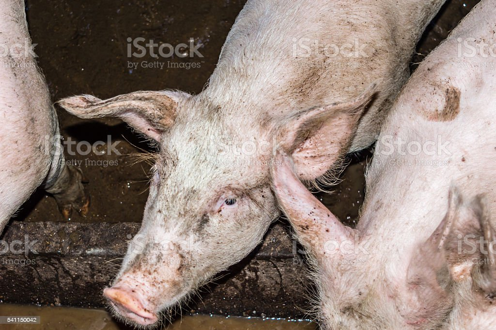 Close-up Head of a Pig in a Pigsty stock photo