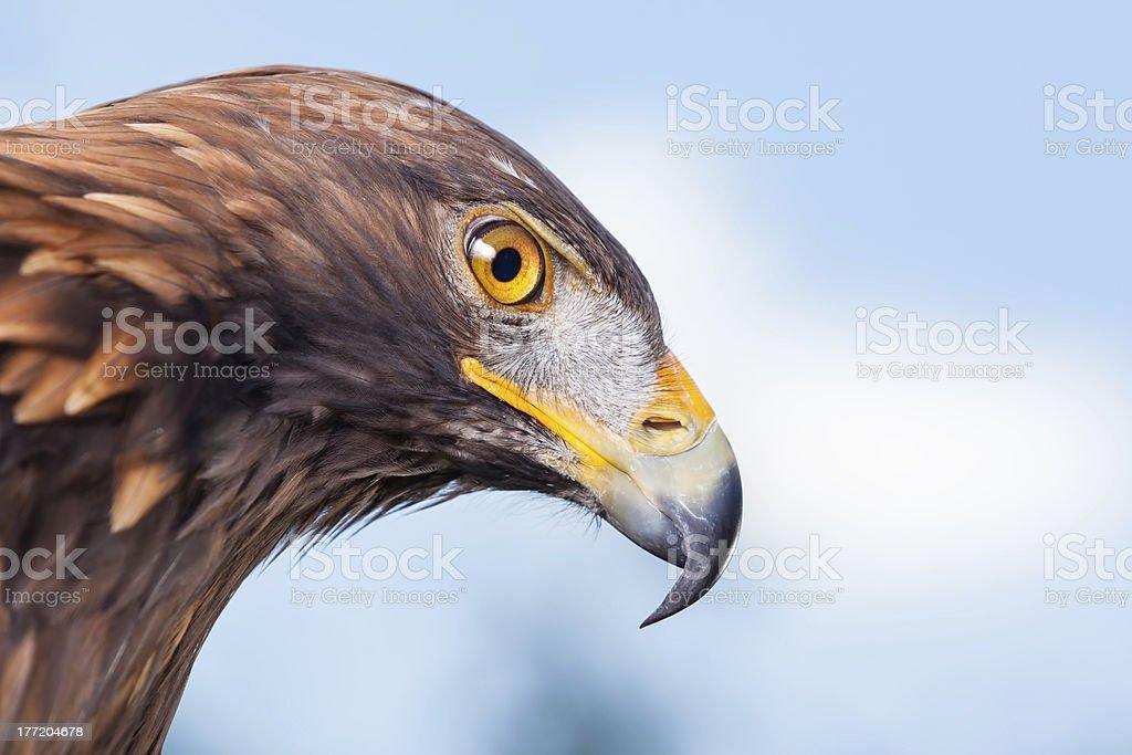 Close-up head of sea eagle stock photo