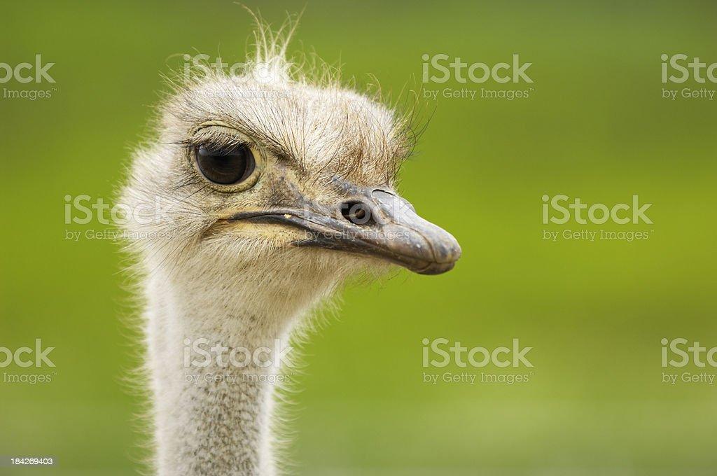 Primer plano tiro de cabeza de un avestruz - foto de stock