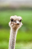 istock Close-up Head Shot of Ostrich 1251577731