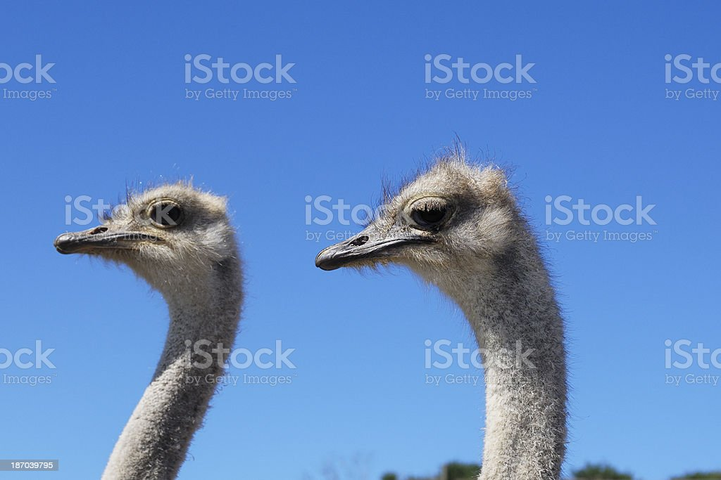 Close-up Head Shot of Two Captive Ostrich royalty-free stock photo