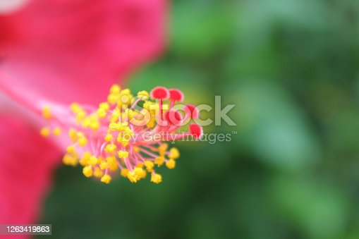 istock Closeup​ hibiscus flower pollen.​ Macro shot of a beautiful and vibrant hibiscus flower. Red hibiscus flower on a green background. 1263419863