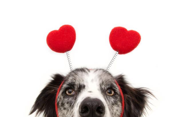 z bliska ukryć miłość psa sobie diadem w kształcie serca. walentynkowa koncepcja. odizolowane na białym tle. - kartka na walentynki zdjęcia i obrazy z banku zdjęć