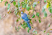 Closeup high angle view of one blue jay Cyanocitta cristata bird perching on tree branch during autumn spring green leaves vibrant vivid colorful color