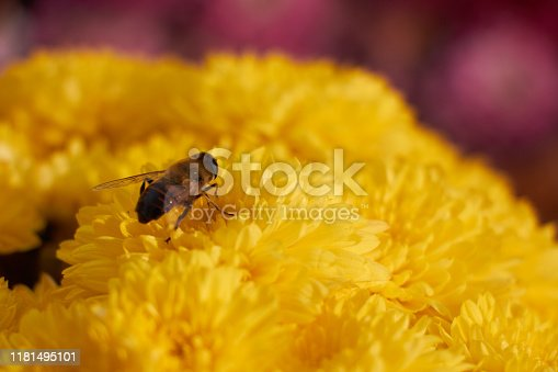 Close up honey bee on yellow flowers, selective focus