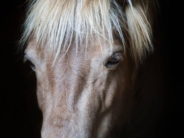 Closeup Horse eyes black background stock photo