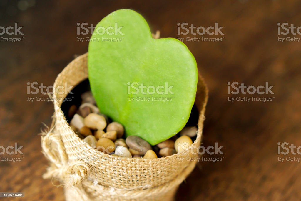 closeup HOYA CACTUS in sackcloth flower pot stock photo