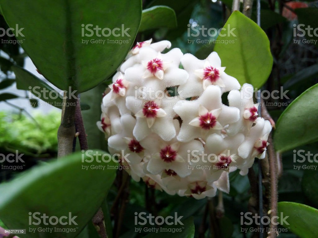 Closeup Hoya ovalifolia flower and leaves background in the garden stock photo