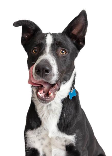Closeup hungry border collie crossbreed dog picture id1138517604?b=1&k=6&m=1138517604&s=612x612&w=0&h=vhmmaur1x6dw2mucg8z 2j9kngzqxgnsjdes6tlagnq=