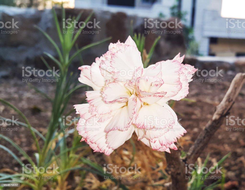 c4e8b04d8 A closeup Image of a beautiful Dianthus carnation flower. - Stock image .