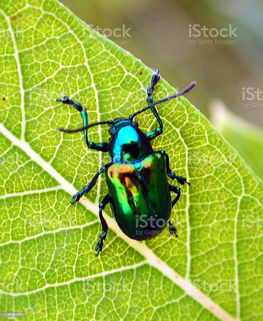 Close-up image of a blue and green beetle on a green leaf stock photo