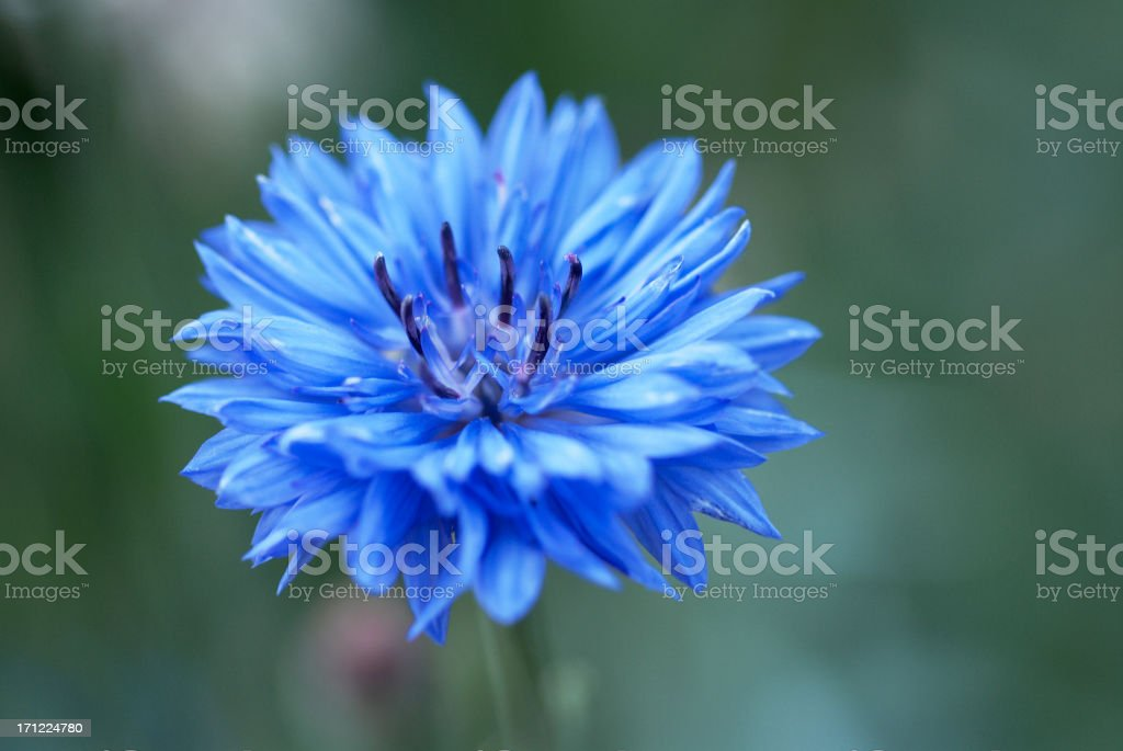 Closeup image of a blue cornflower with a blurred background stock photo