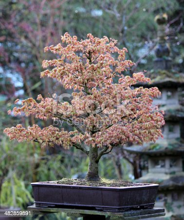 Photo of a bonsai Japanese maple, Acer Palmatum Kashima, with a pagoda  in the background