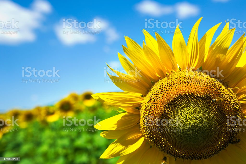 Close-up image of a sunflower in a field on a sunny day royalty-free stock photo