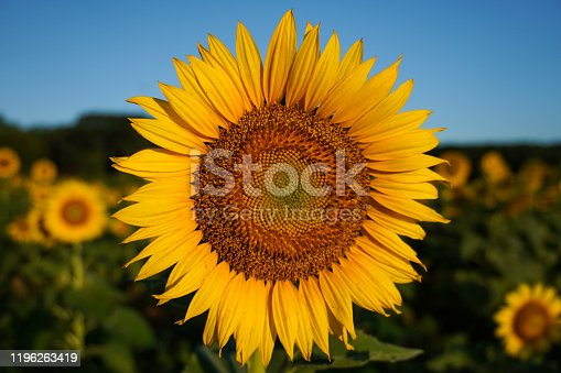 Close-up image of a sunflower in summer