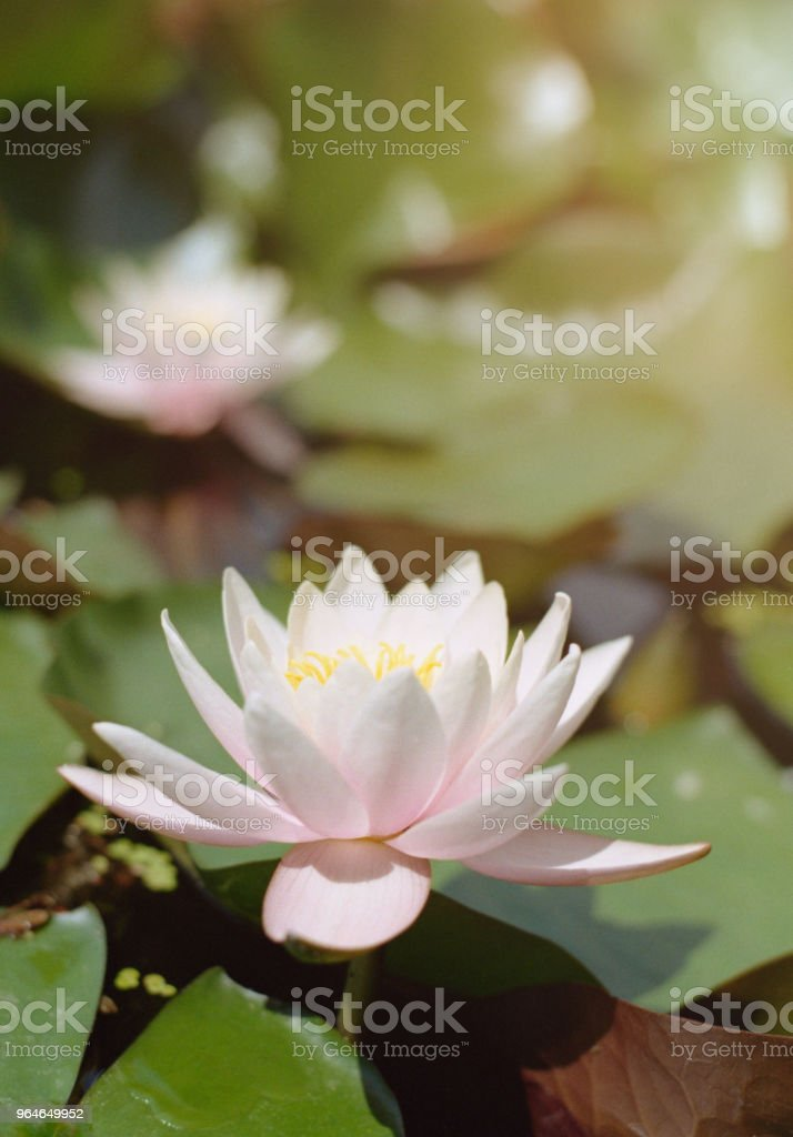 Close-up image of a water lily in sunlight. Shot on film royalty-free stock photo