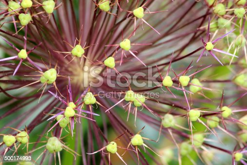 Photo showing a large purple and green seed head of an old allium flower, pictured in the sunshine with a blurred garden background and green seed pods.  This allium picture could be used as computer wallpaper or a background image.
