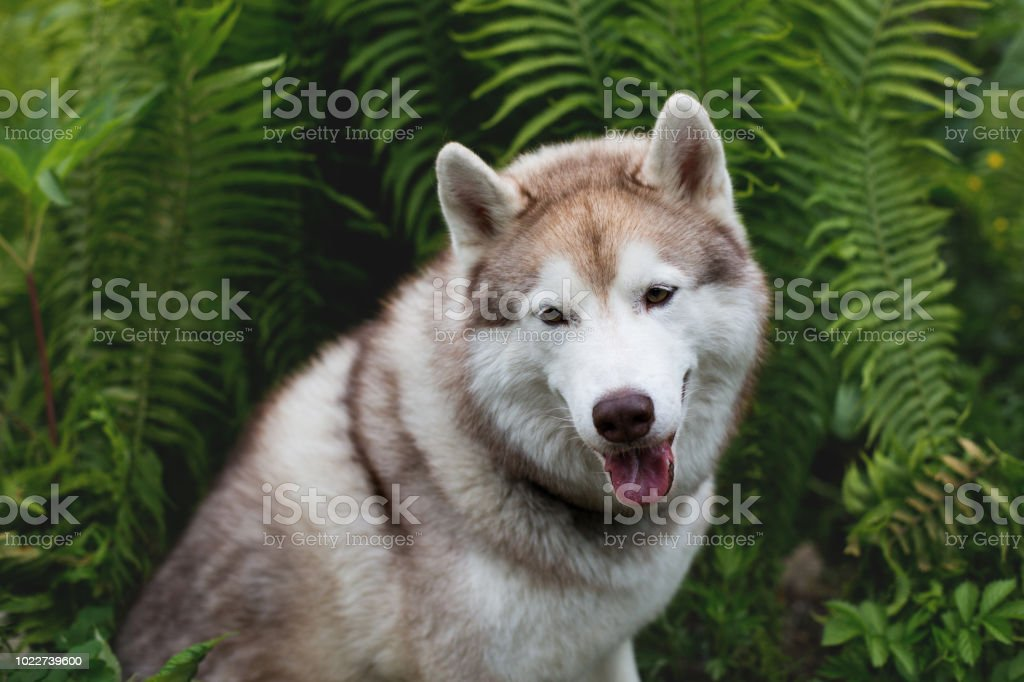 Closeup Image Of Beautiful Dog Breed Siberian Husky Sitting In The