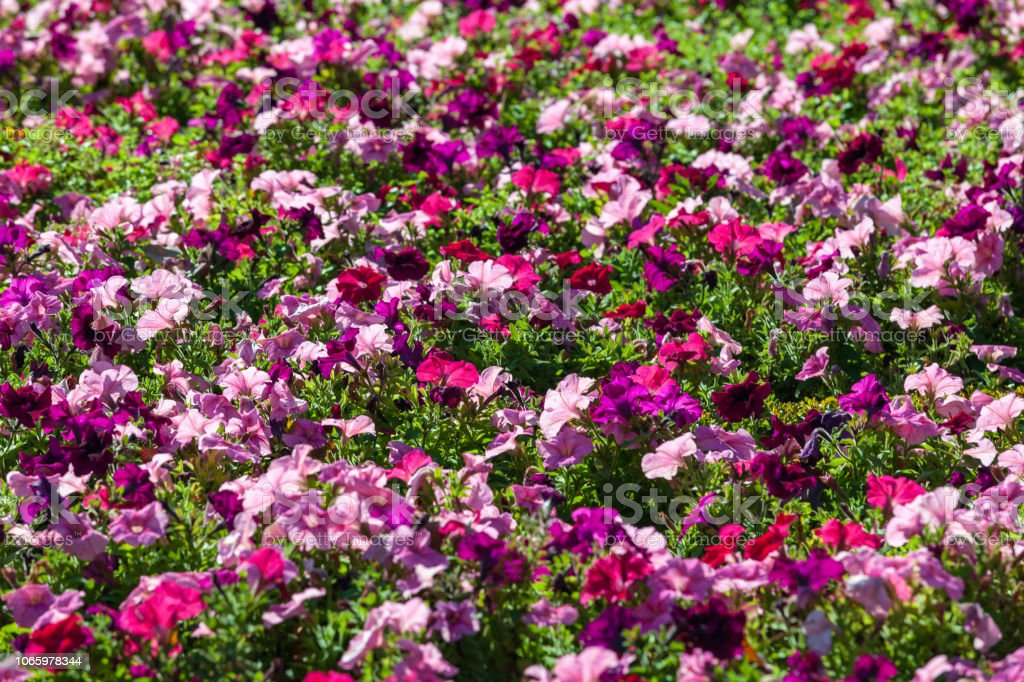 Closeup image of beautiful red, pink and white flowers. stock photo