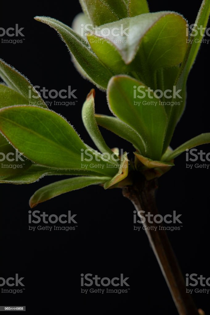 closeup image of branch with leaves isolated on black background zbiór zdjęć royalty-free