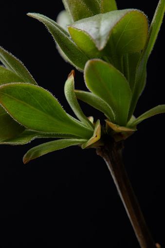 근접 촬영 이미지와 분기의 나뭇잎에 고립 된 검정색 배경 0명에 대한 스톡 사진 및 기타 이미지