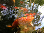 Stock photo brightly coloured red, white and black koi carp fish, including sanke, showa and kohaku varieties in a large 5,000 gallon koi pond.