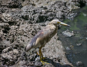 Close-up image of brown Pond Heron(Ardeola) bird near water body.