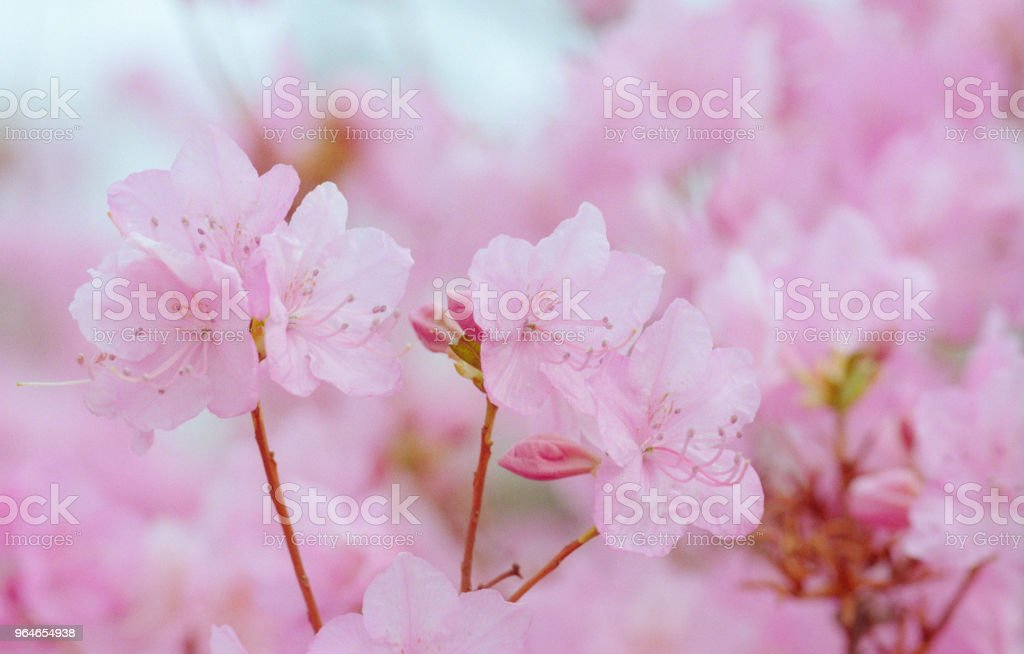 Close-up image of buch of pink rhododendron flowers. Shot on film royalty-free stock photo
