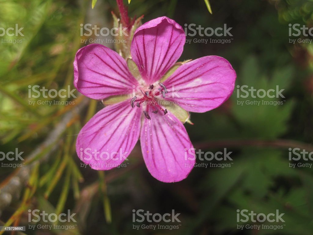 Close-up Image of Delicate Pink Flower with Five Petals stock photo