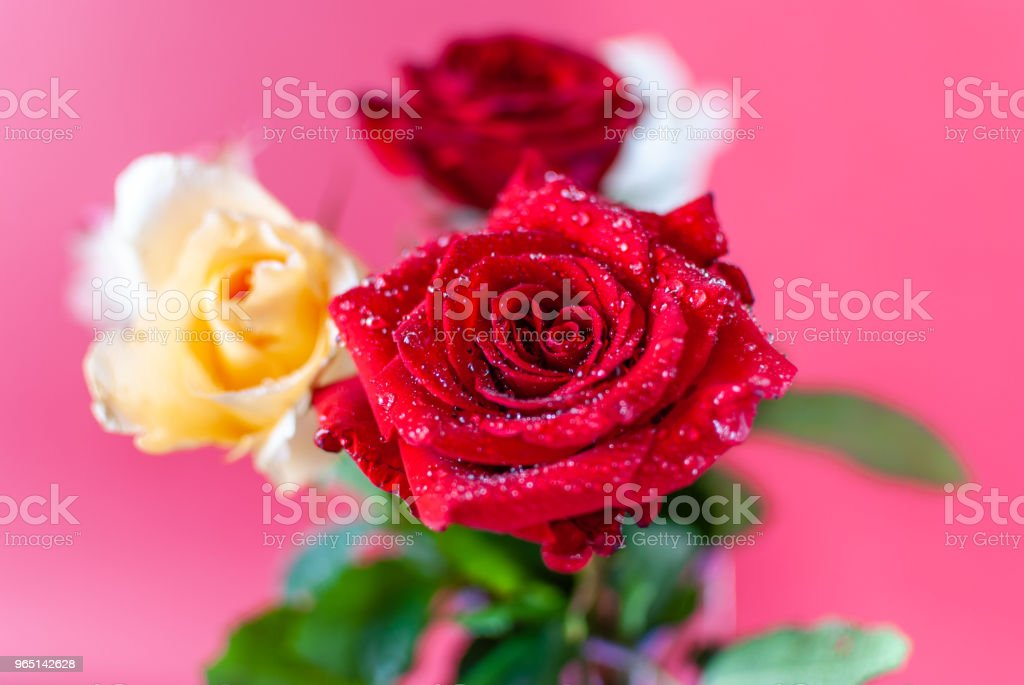 Close-up Image of Droplets on Beautiful Blooming Red Rose Flower. zbiór zdjęć royalty-free