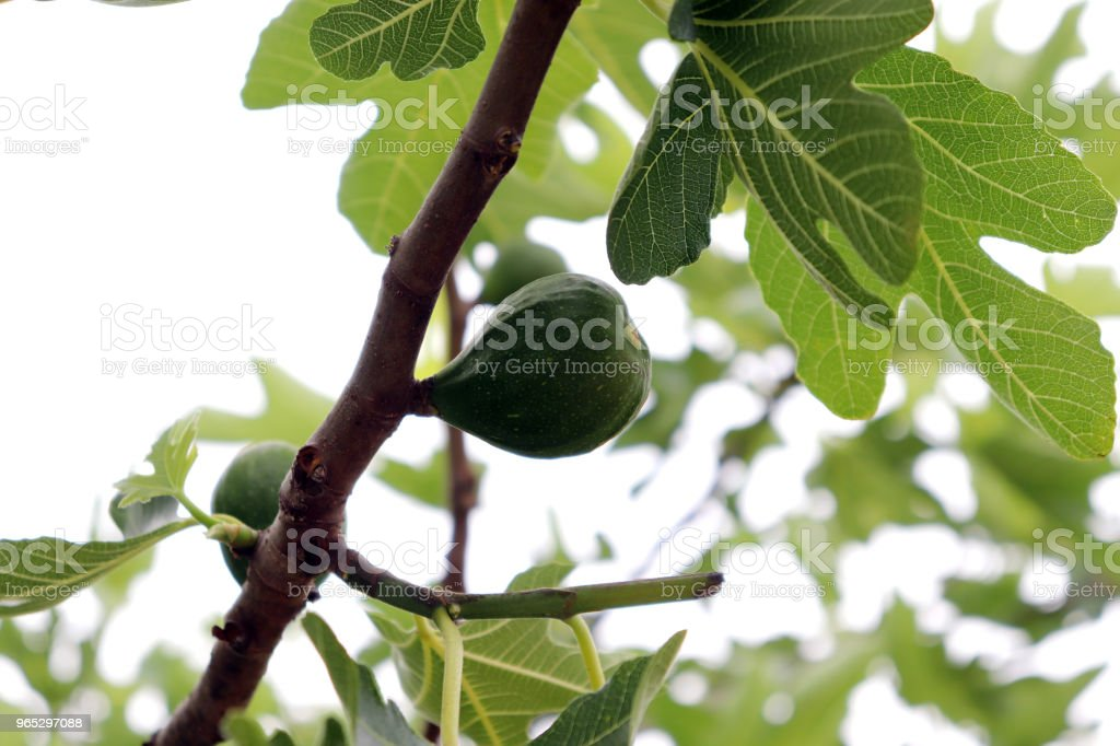 A close-up image of fig leaf and fig nut. royalty-free stock photo